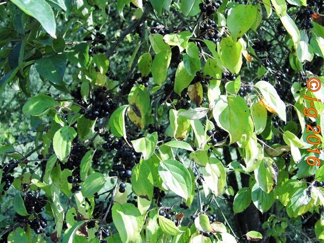 Beeren des Faulbaumes