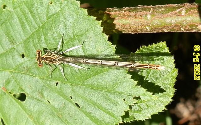Gemeine Federlibelle, Weibchen