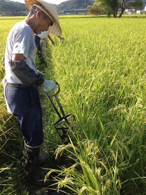 稲刈り前の排水手直し