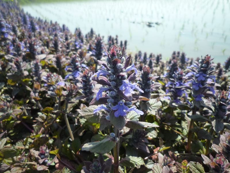 田んぼのあぜに植えてあるラベンダー