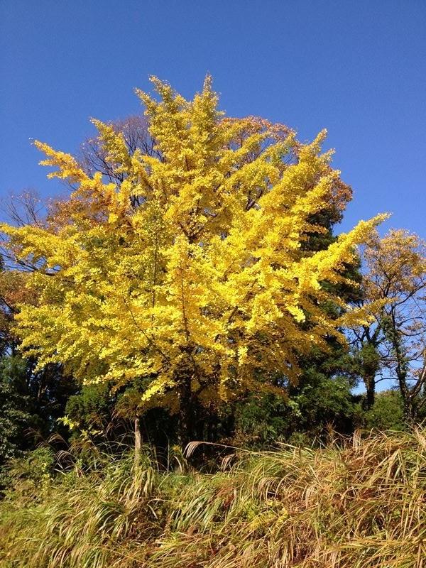 頭川のイチョウの木