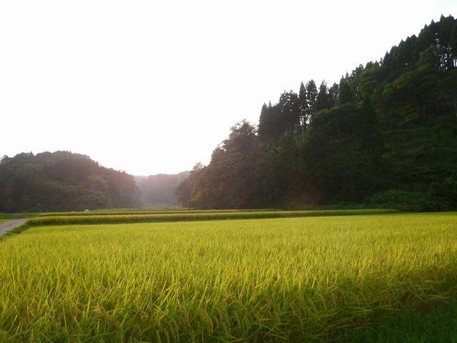 頭川の田んぼ