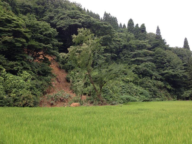 山が崩れて、滑ってきた木が田んぼの中に立ちました!信じられません(泣)