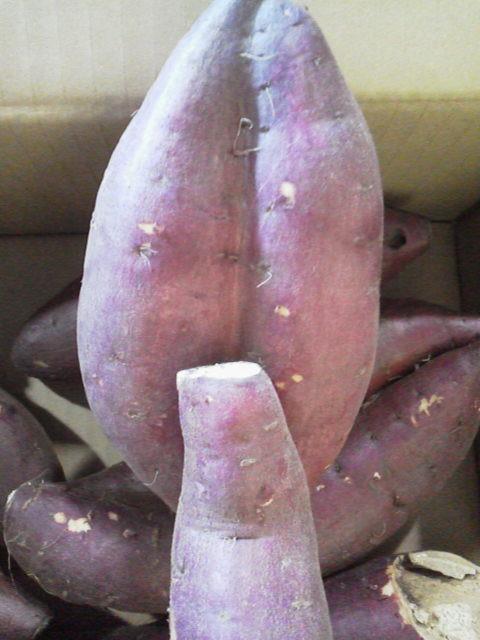自家製の苗から収穫したサツマイモです。形が・・・なんかH(笑)