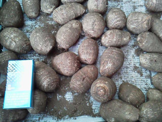 発芽した八百屋さんが廃棄するのをもらってきた里芋から栽培して収穫してみました♪