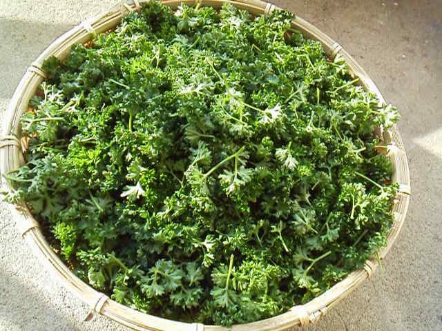 パセリです。夏に虫が付くので夏前に収穫して乾燥パセリを作ります。