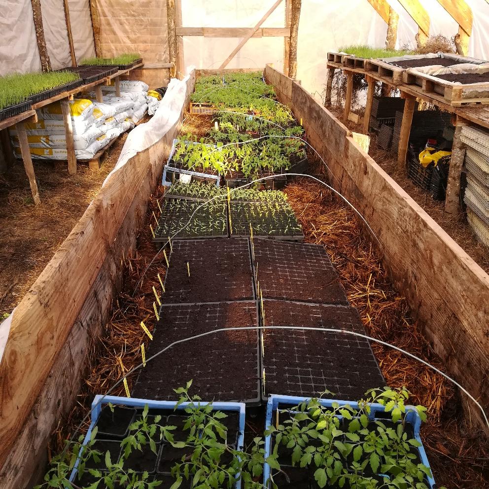 La couche chaude ( ou fumier de brebis recyclé) dans la serre à plants