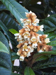 枇杷の葉と花