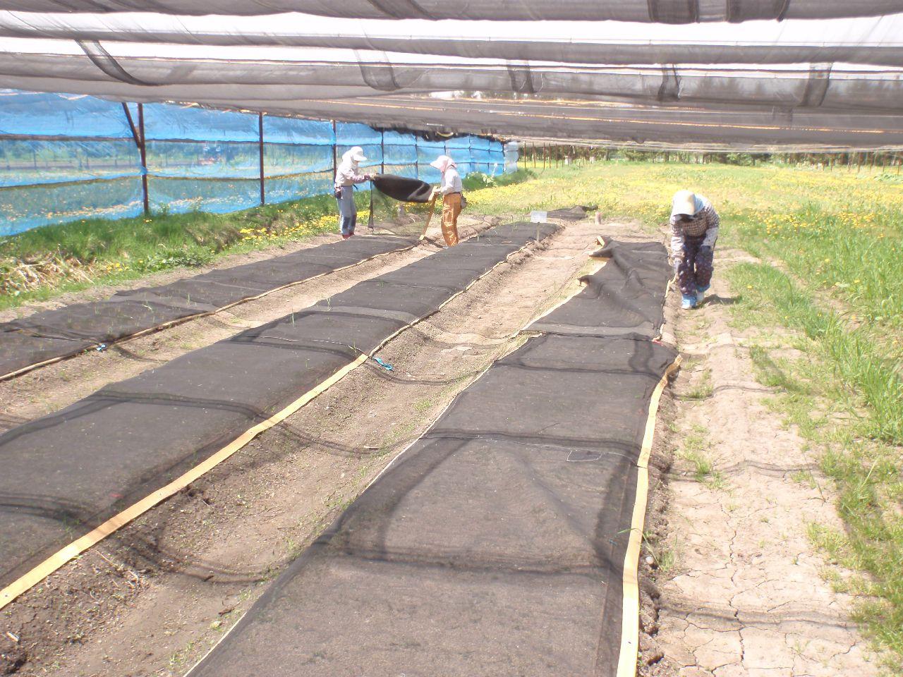 昨年秋に播種した床の寒冷紗でを撤去。