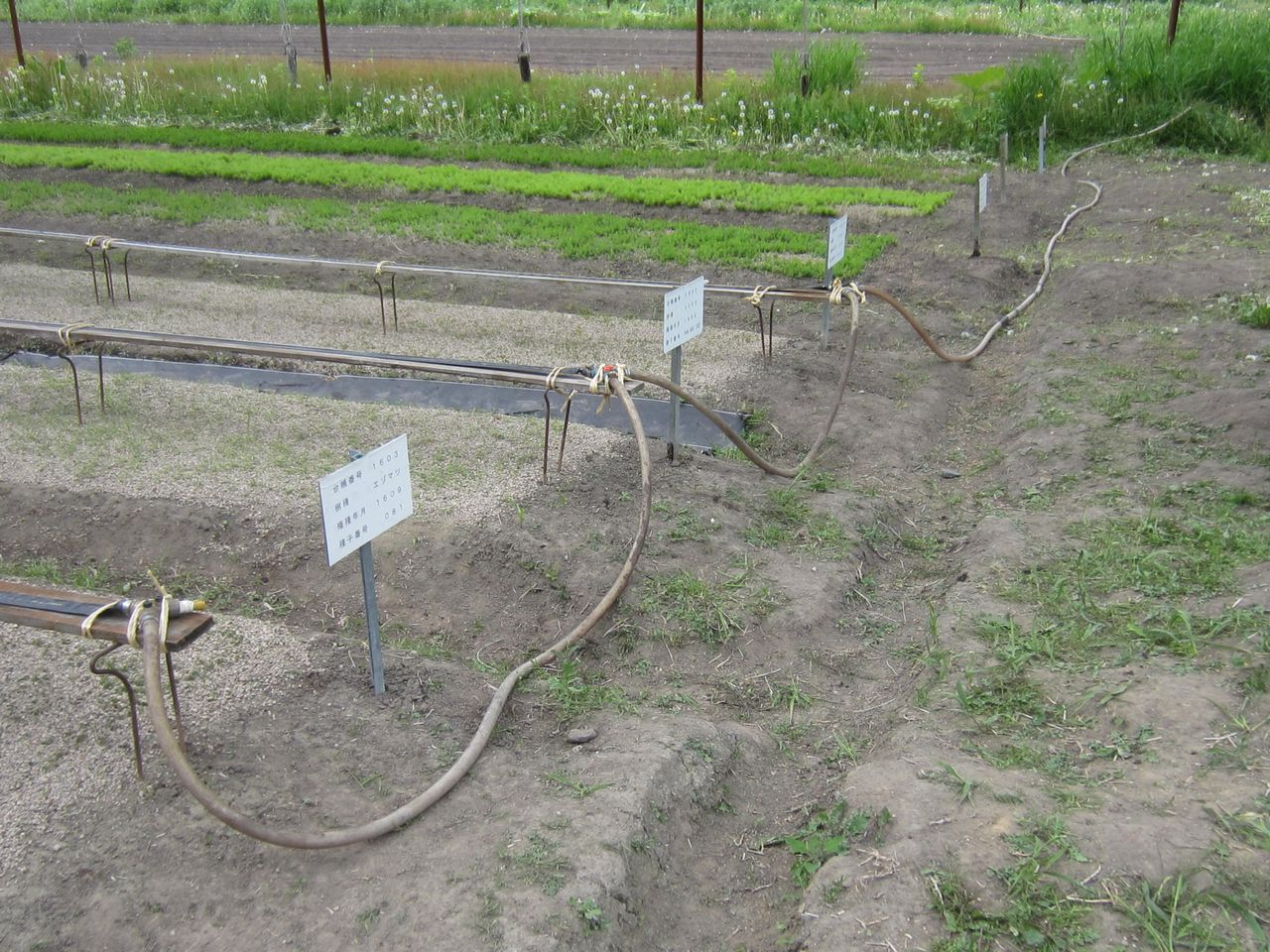 播種床に散水ホース設置。