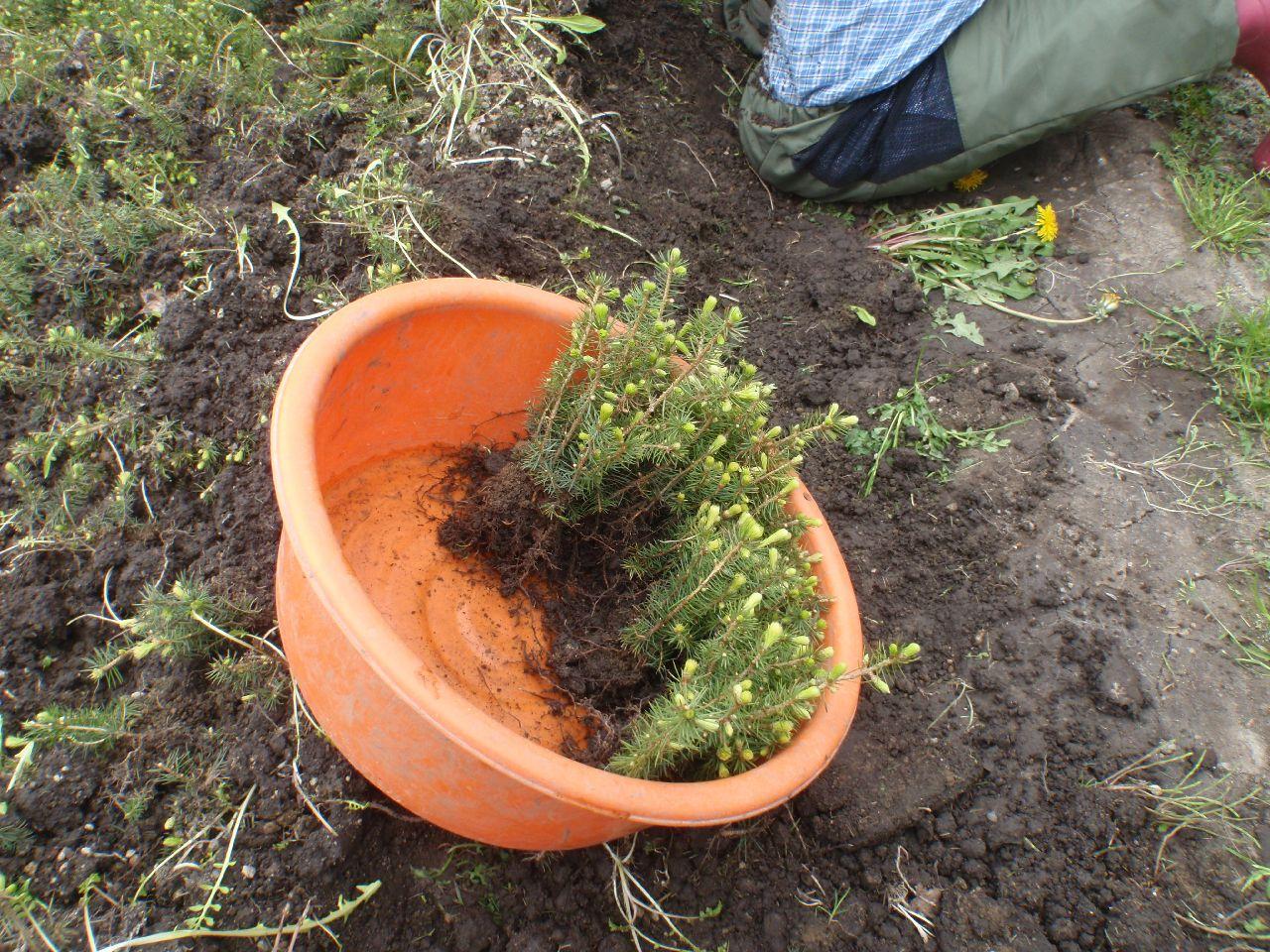 苗の根にメネデールをかける。