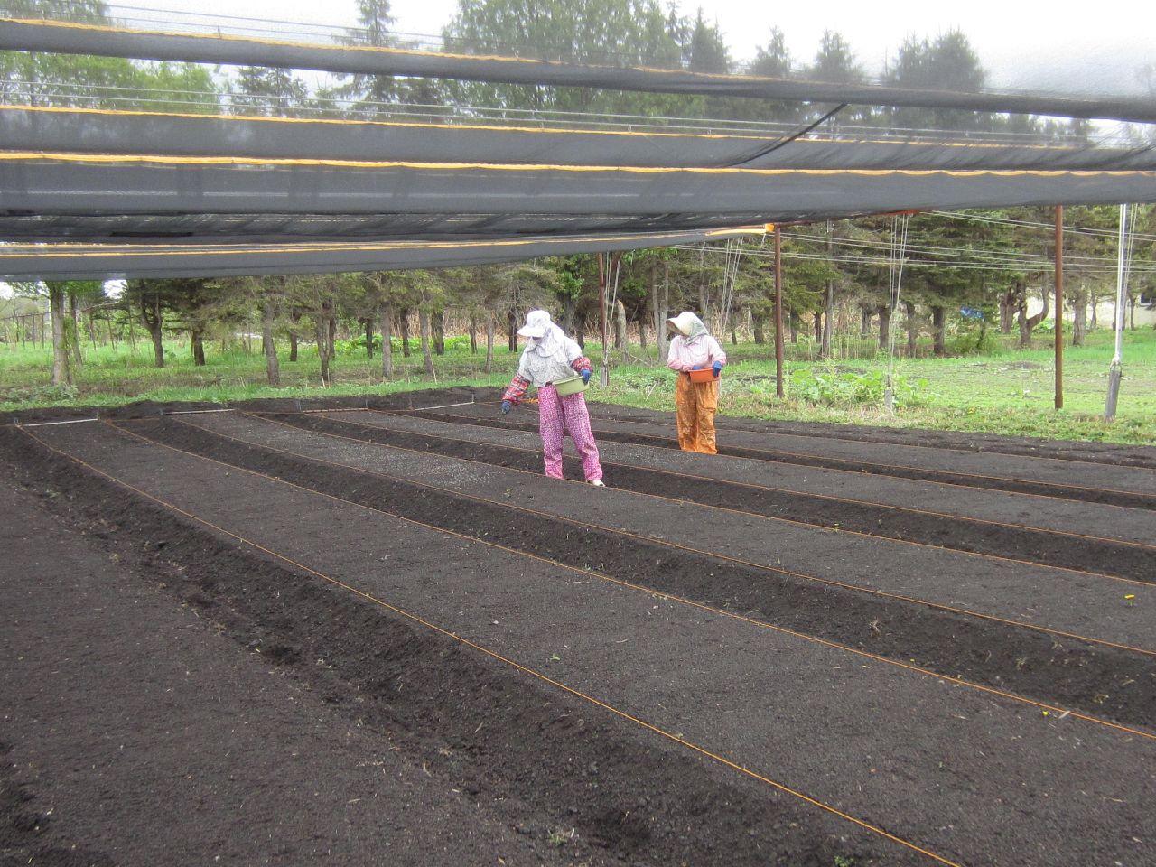 床に肥料を蒔く。