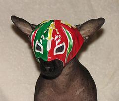 Xolo mit WrestlingMaskMexico