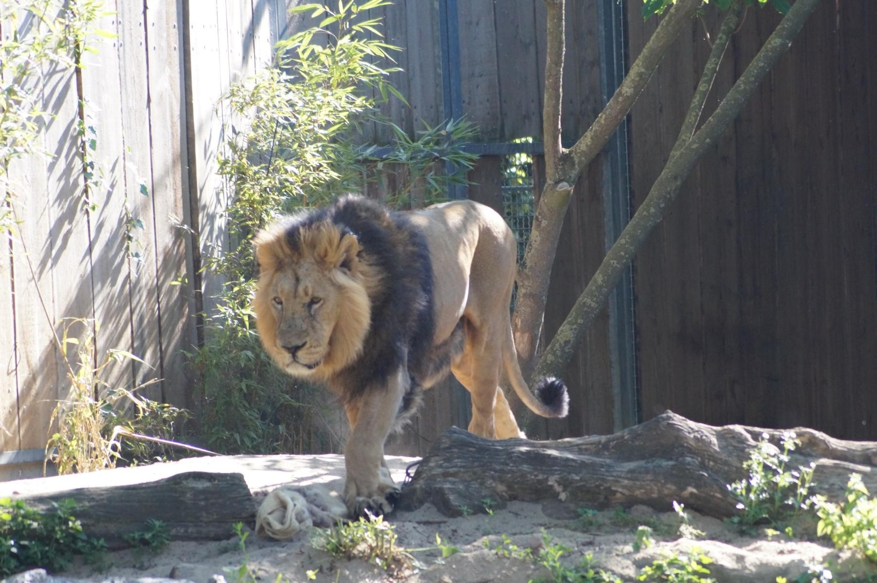 Löwenmännchen.