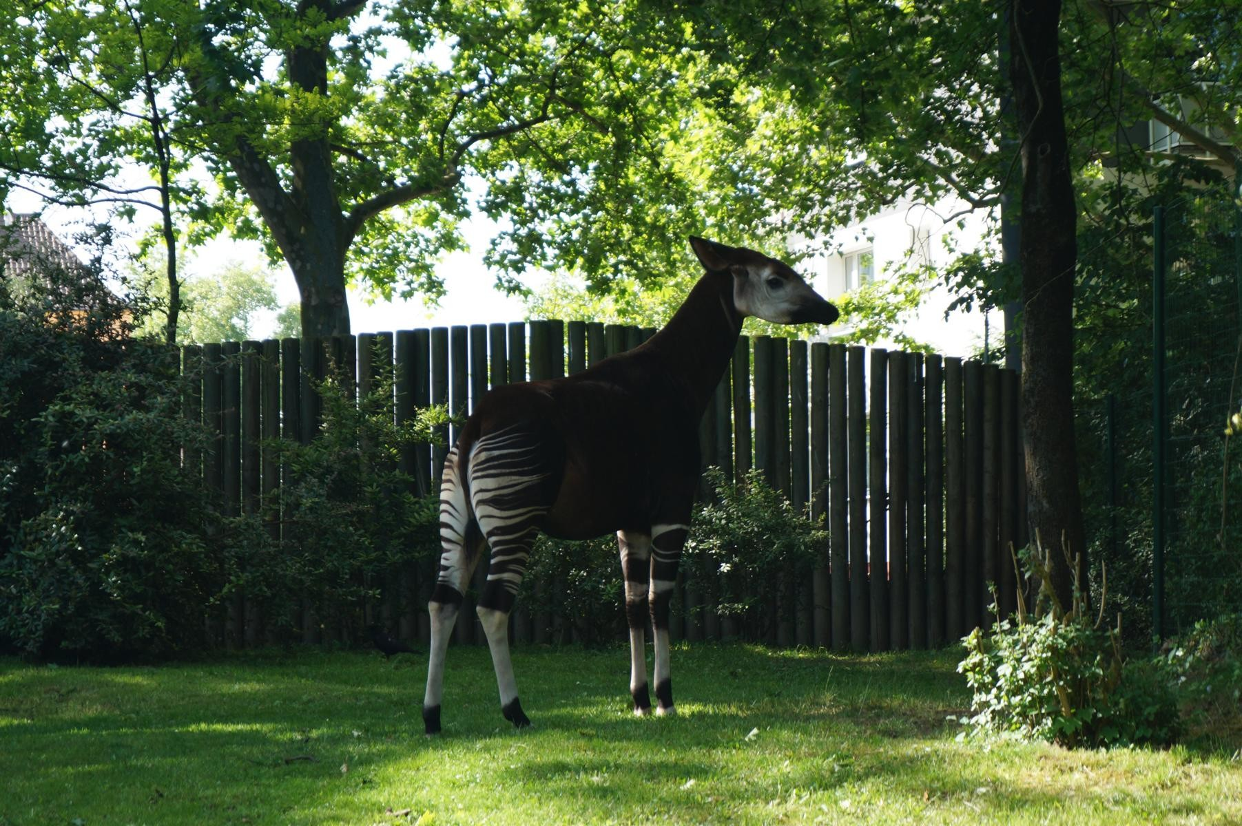 Okapi, eine Waldgiraffe.
