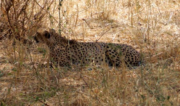 Die Gruppe hatte Glück. Nahe der Piste ruhte einer der im Tarangirepark eher selten vorkommenden Geparden.