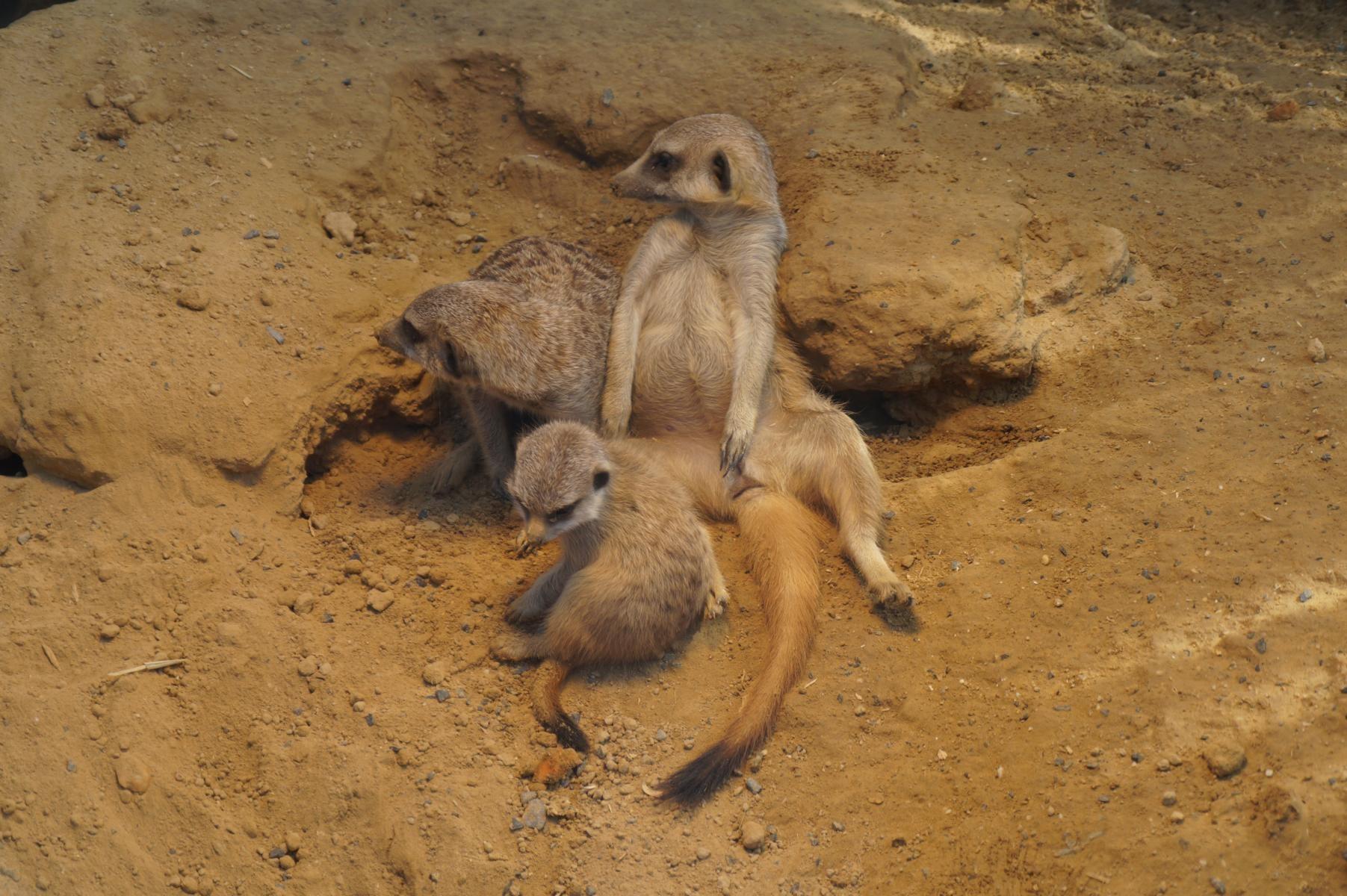 Erdmännchen-Familie.