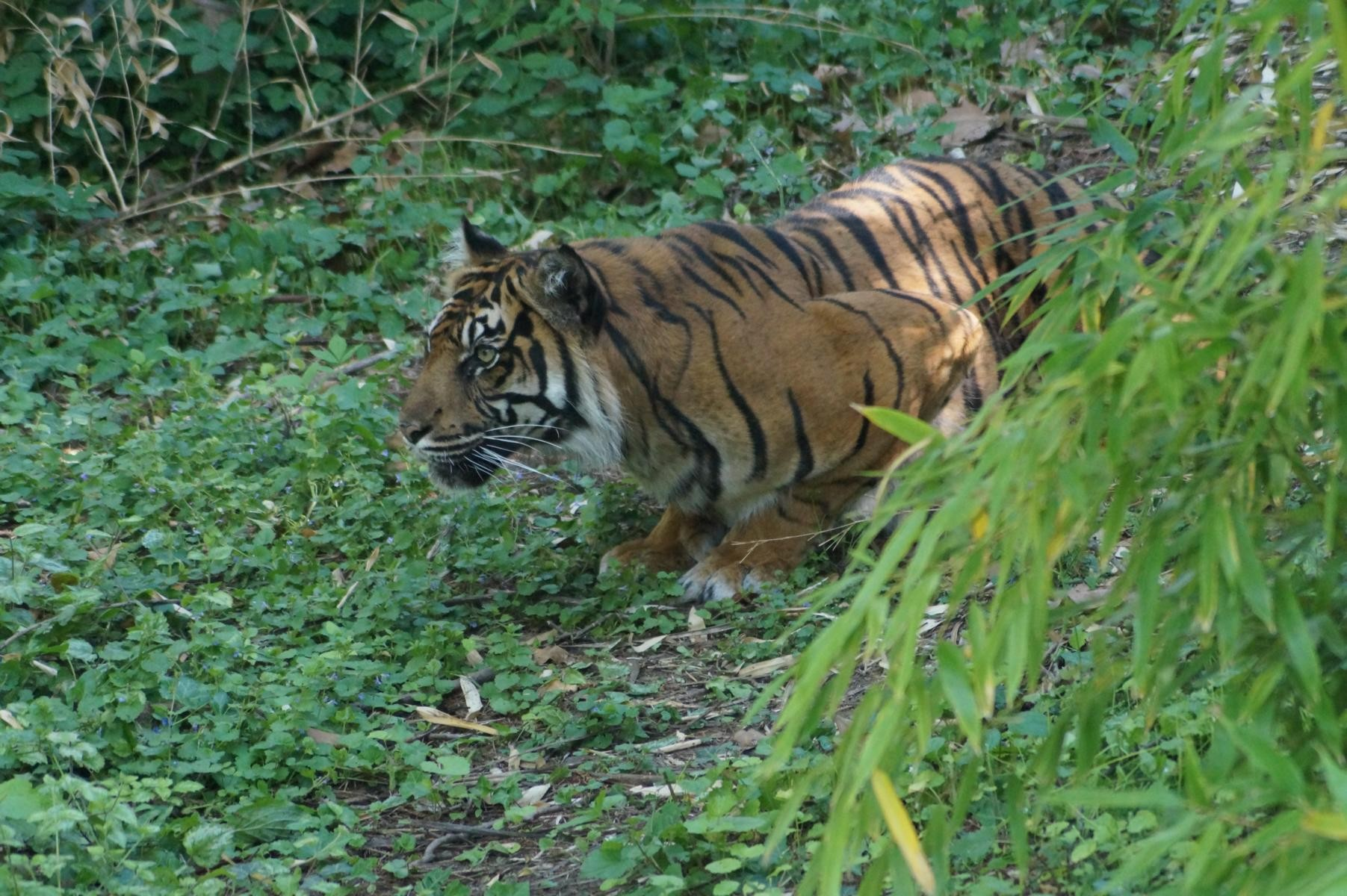 Beute fixierender Tiger.