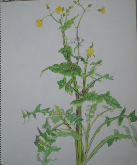 春の野芥子 ハルノノゲシ