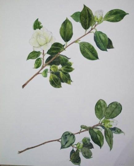 Camellia 椿 ツバキ
