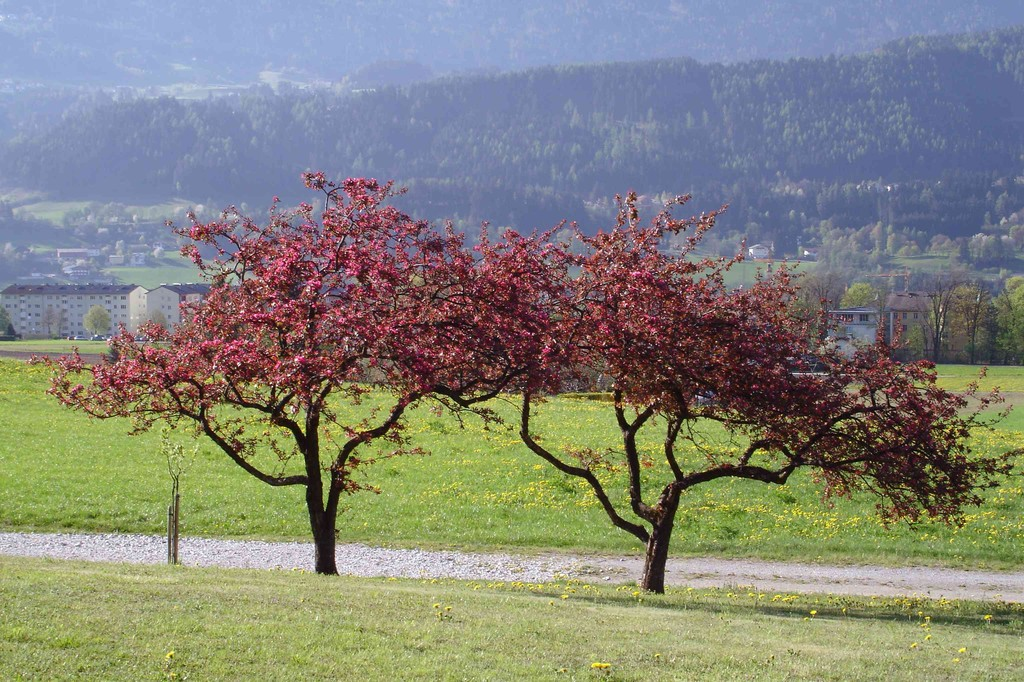 Zieräpfelbaum im Mai