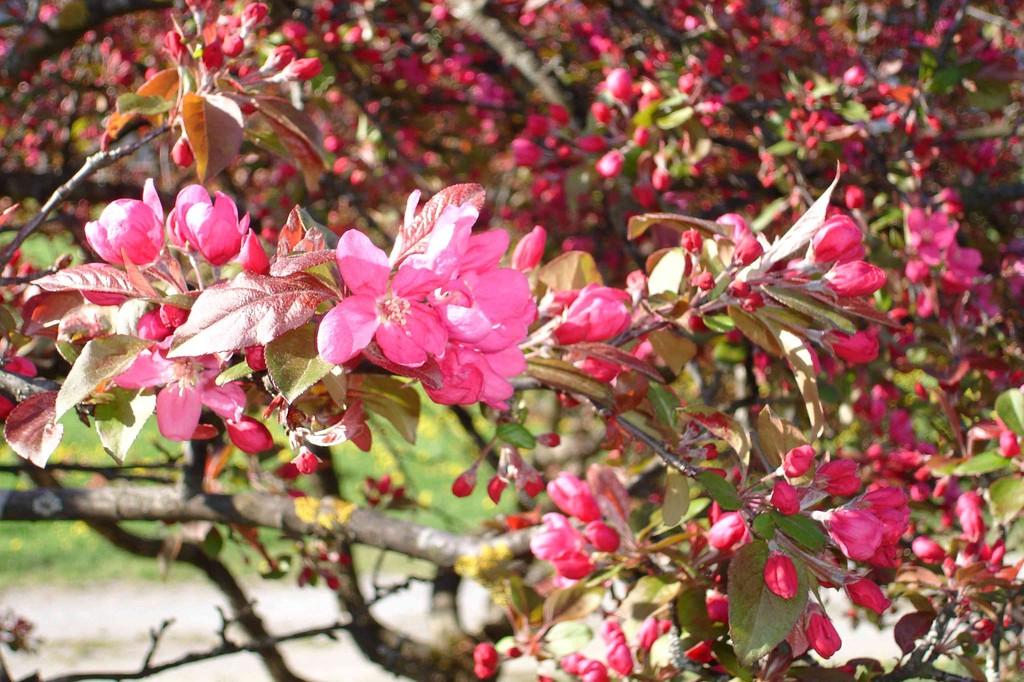 Zieräpfelblüten