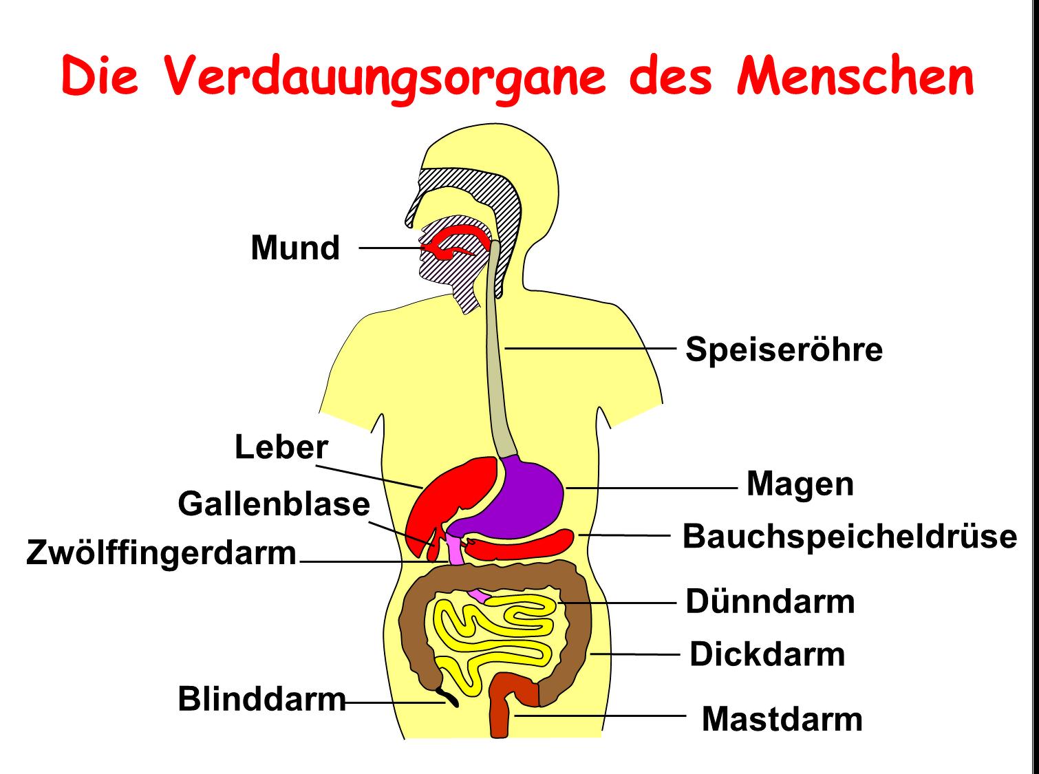 Schön Verdauungsorgane Zeitgenössisch - Menschliche Anatomie Bilder ...