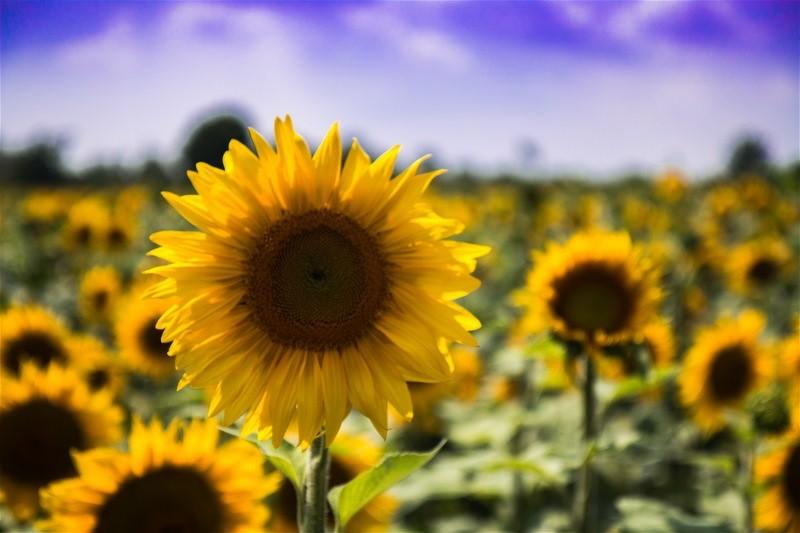 sonnenblumenmeer bei st. pochair