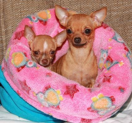 Platz ist auch in der kleinsten Hütte ♥ Geschwisterwelpen von chihuahuas-von-ahualulco.de