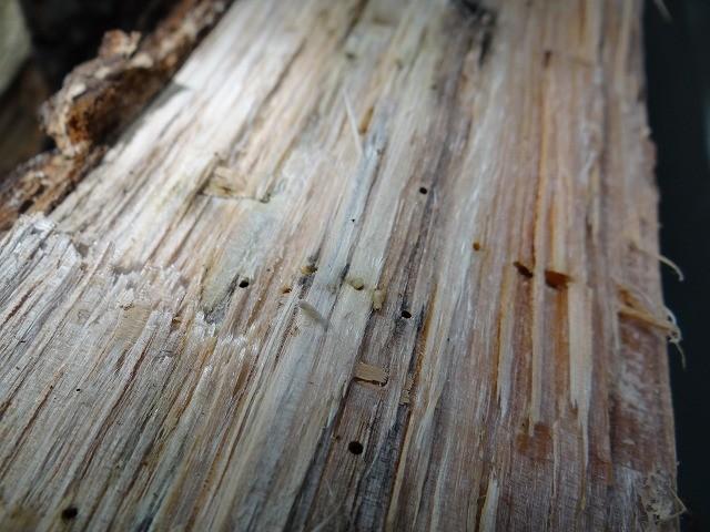 割って見ると幼虫が出てきました、カシナガの幼虫か、カシナガは生きている木に生息すると言われていますが。