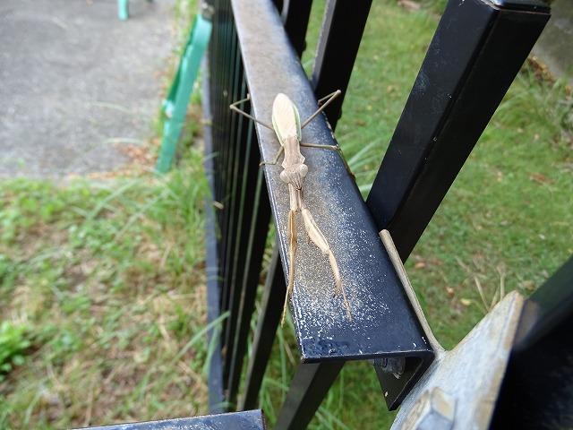 朝のお迎えはカマキリさん。しおんじ山ではあまり見かけない昆虫ですが、この秋は何匹かお会いしました。