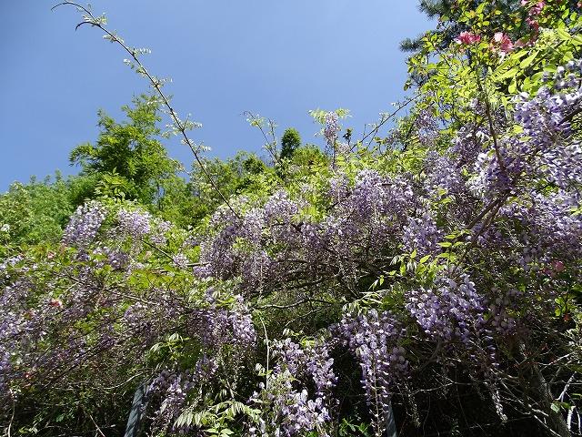 上り坂のノダフジが咲き始めていました。