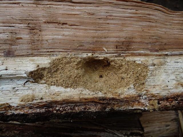 でっかい幼虫の居た所、木くずを敷き詰めて居心地よさそう。裸にさせてごめん。