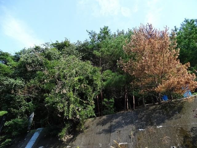 右の松が枯れてきました、左の緑の木は枯死した松にフジが巻き付き葉が茂っているように見えます。フジが枯れるのを待って処理する予定にしています。