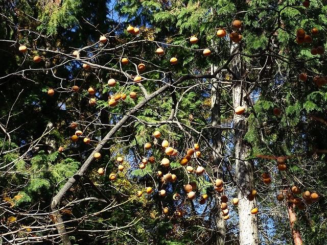 今年は柿の成 年か例年4~5個しか成らない柿もご覧の通り豊作、野鳥は外観を見ただけで甘いか分かる見た、渋柿には目もくれず。
