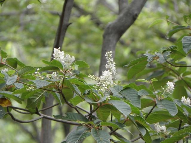 リョウブの花咲く(高嶺の花 近づく事かなわず)