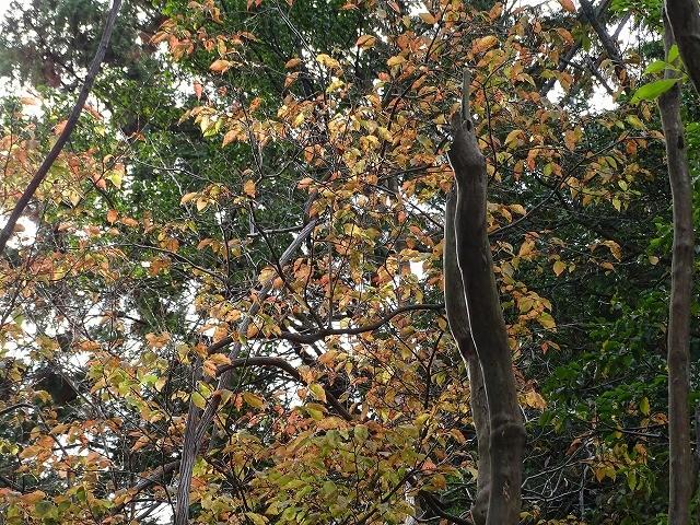 リョウブの紅葉がきれいになっています。 こもれびの ライトを浴びて 主役張る