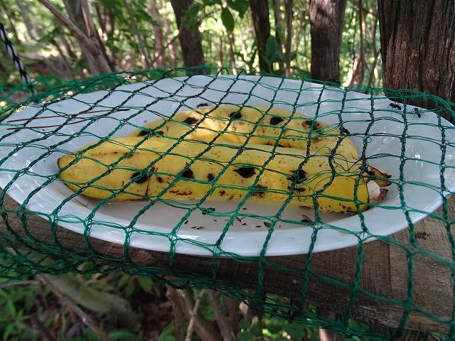 蝶々は来ていません、アリとハチが盛んにつついています。