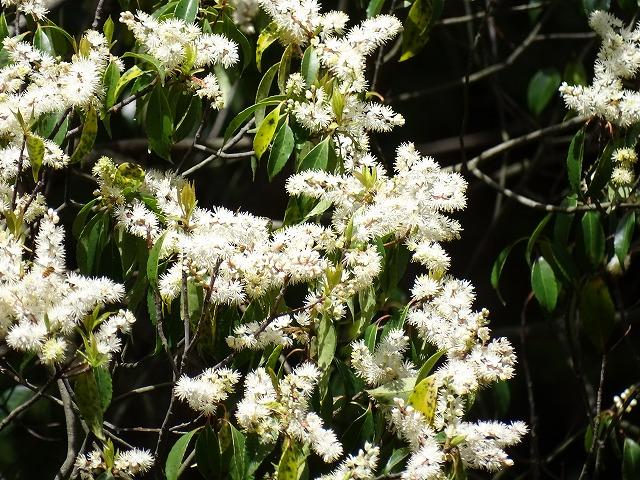 クロバイが満開例年より、開花が早い