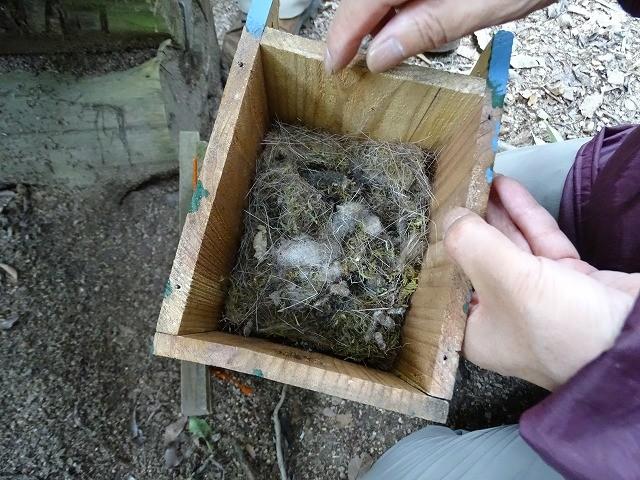 巣箱の中 コケや繊維など分厚く敷き詰めて、相当労力をかけたと思われる。