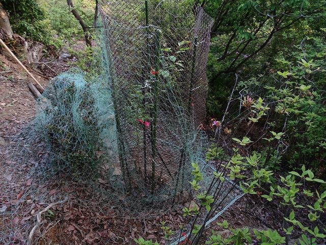 展望台下に植林したエドヒガン、成長が早く、ネットから顔を出しそうなので、K山さんが鹿よけネットを張っていたくれました。