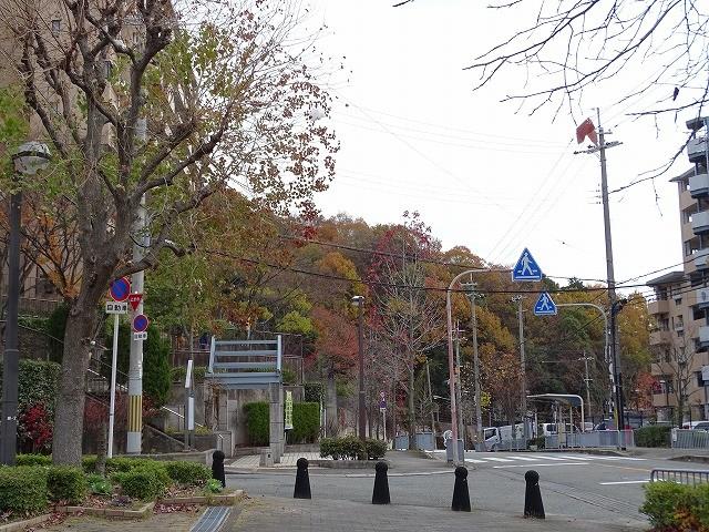 街路樹のアメリカンフウは落葉、しおんじ山のコナラ、クヌギは紅葉真っ盛り。