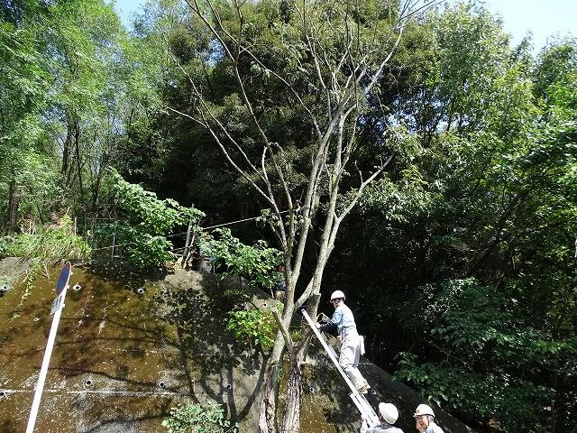 ベテランぞろい、この高木を安全に伐倒しました。