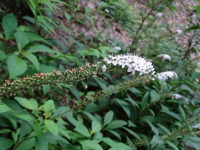 オカトラノオ花は少なくなり、沢山の実どんな飛び出し方をするのやら