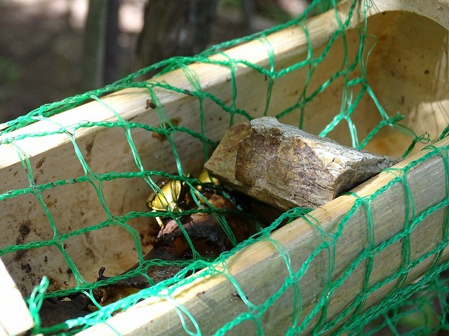 オオムラサキの餌場はカンブンが占拠、背中をたたいても反応せず、バナナを食べていた。