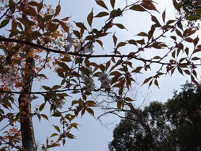 桜谷のヤマザクラ、低い所で咲いているので首が痛くならない。