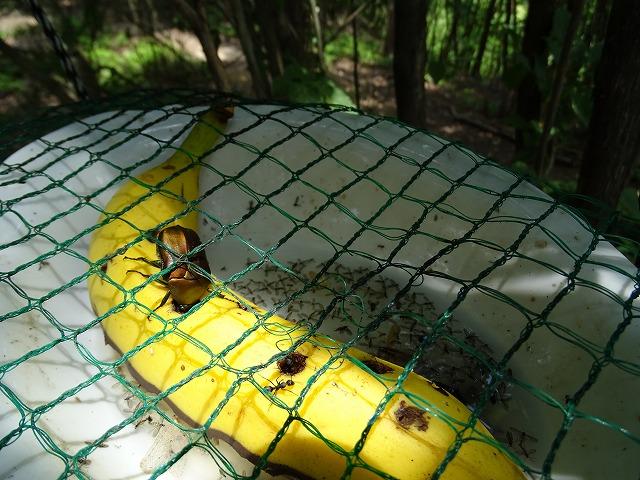 カナブンが黙々とバナナを食べていました。