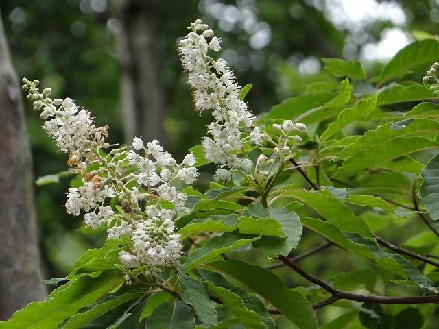 リョウブの花が咲き、香りを漂わせていました、(しおんじいは鼻が利かず)