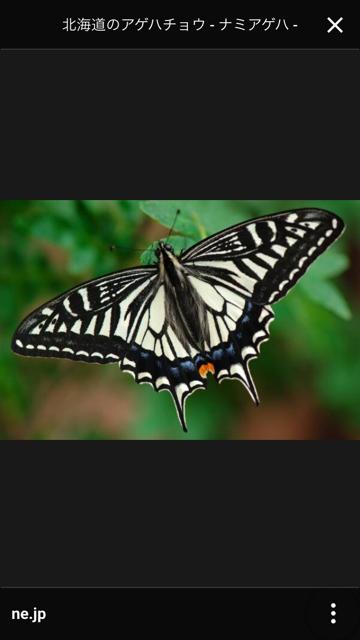 成虫の写真 送っていた代来ました。幼虫との共通点は、成虫の翅の下にある模様が幼虫の頭と似ているかも。