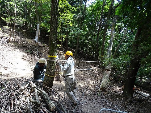 ナラ枯れ枯死木の伐倒、掛かり木をして倒れず、針葉樹との枝の張方が違い苦労しています。